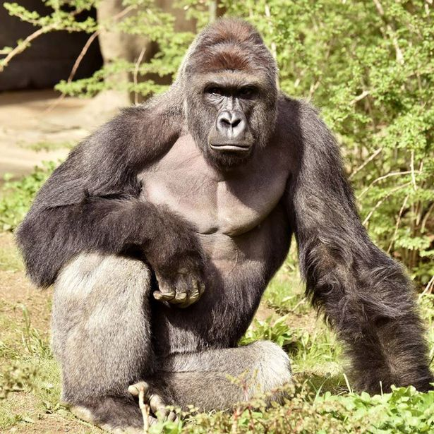 Gorilla-sized+gap+between+jokes%2C+sensitivity