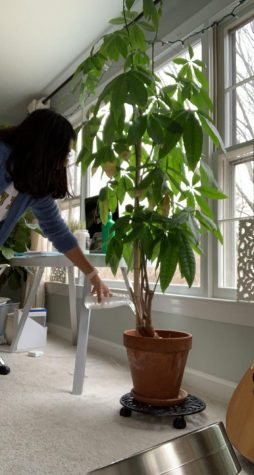 Senior Zara Chavoshi waters her Guiana chestnut tree on Jan. 5.