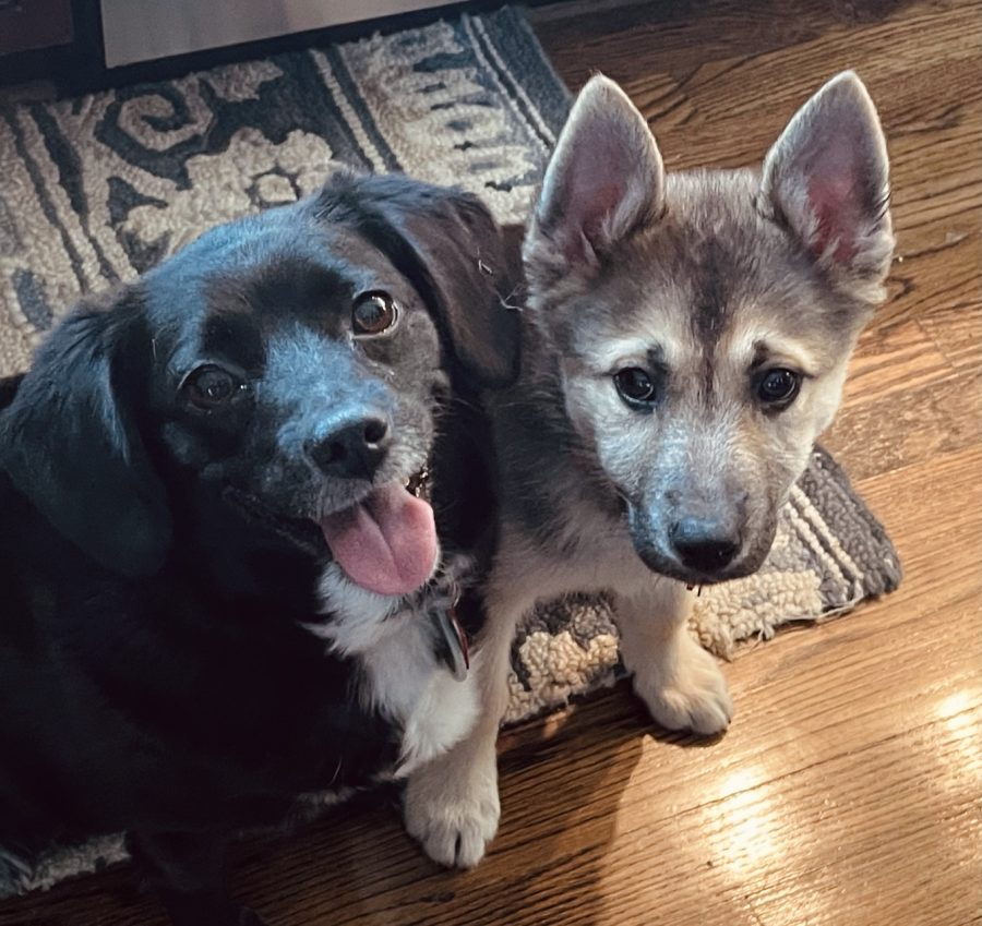 Two mutts: Lainey (left) is a Beagle—Maltese—Pomeranian mix and Heidi (right) is a German Shepherd—Husky—Australian Cattle Dog—Poodle—Chow Chow mix.