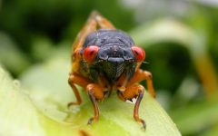 Brood X, a periodical cicada, comes out from underground every 17 years and can be seen in the billions.